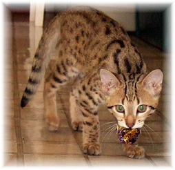 Bengal cat in tan with black dots