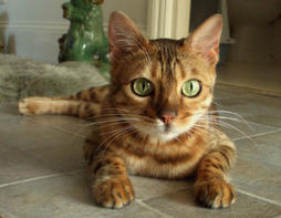 Bengal cat in tan