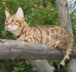 Bengal cat on tree